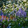 Mt. Rainier wildflowers in September