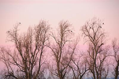 Snow geese 12-26-09