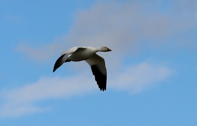 Snow Geese - Skagit County, WA