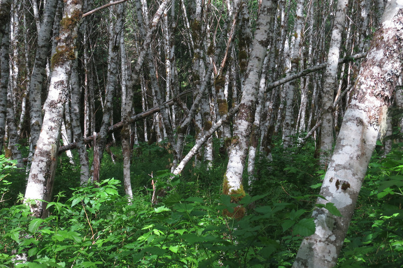 Trees near Lost Creek - Zigzag Area, Oregon, 2013
