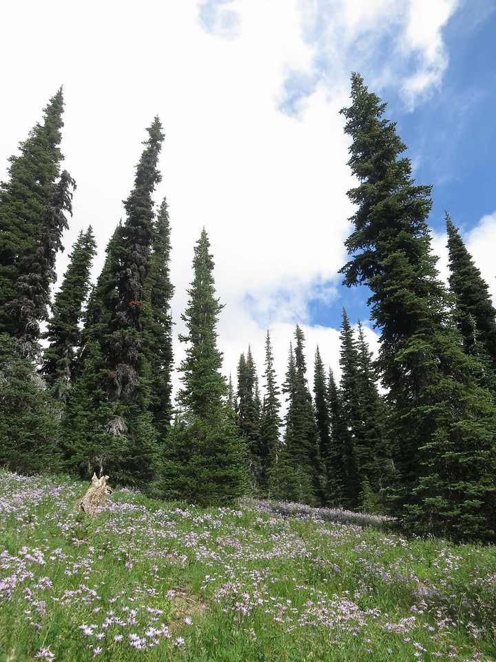 Asters and Firs - Mount Adams - August 2013