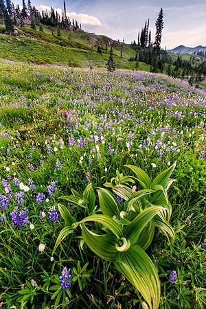 Wildflowers, Mt. Rainier, Washington