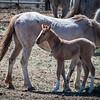 Wild Horse Foal, BLM Corrals