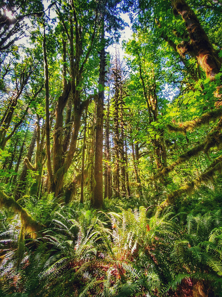 Quinault Rain Forest,  Olympic National Park, Washington