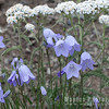 Harebells and Yarrow