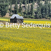 Old Cabin and Canola near Bonners Ferry
