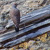 red-shafted flicker (female)