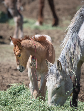 Wild Horse Foal at BLM Rescue Center near Burns, Oregon