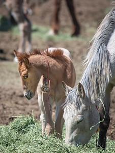 Wild Horse Foal at BLM Rescue Center near Burns, Oregon