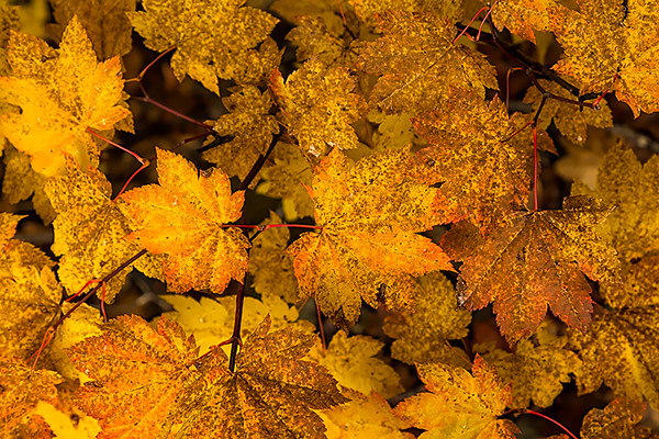 Autumn Leaves, White Pass, Washington