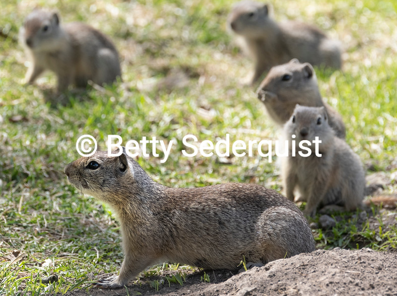 Mama Ground Squirrel and Her Young, Malheur National Wildlife Refuge, Oregon