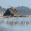 Seagulls gather on the beach in Olympic National Park.