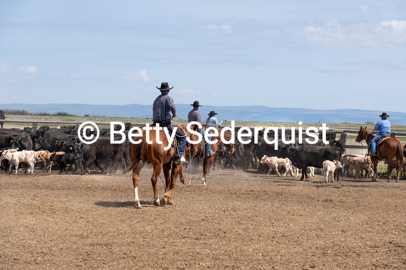 Cattle Roundup, Burns, Oregon