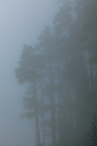 Foggy Pines, Olympic National Park
