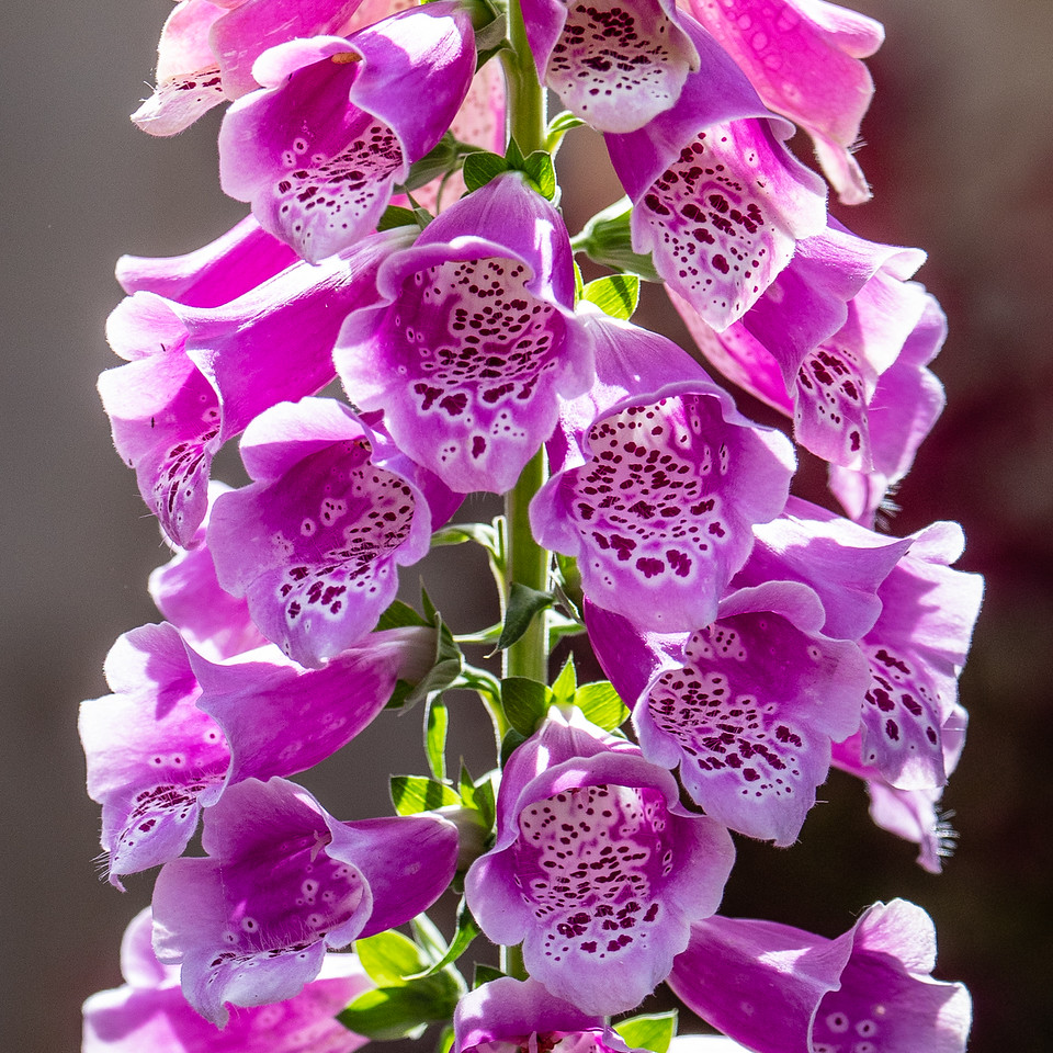 Foxgloves | Seattle, WA | May 2018