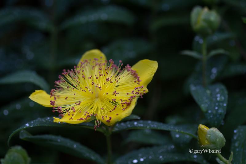 St. John's-Wort Flower