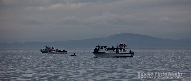 Orca Sighted