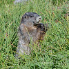 Marmot (ground squirrel)