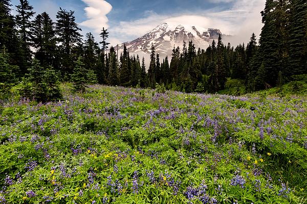 Wildflowers, Mt. Rainier National Park, Washington