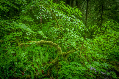 Green on Green, Sol Duc Rainforest