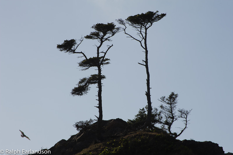 A seagull flies by a pair of trees on a haystack rock on the Olympic coast.