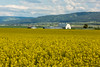 Farm Fields of Mustard Crops, Idaho