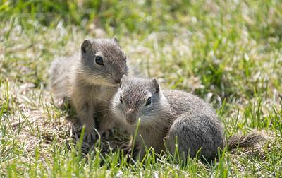 Rodent Pair, Malheur National Wildlife Refuge, Oregon