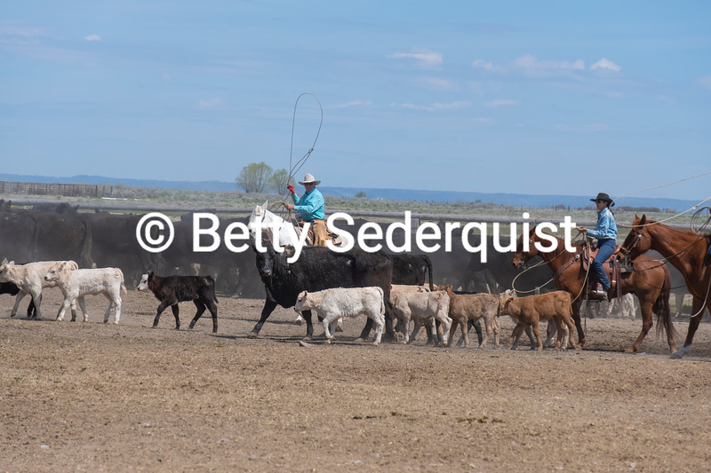 A Cowboy Prepares to Rope a Calf at a Roundup