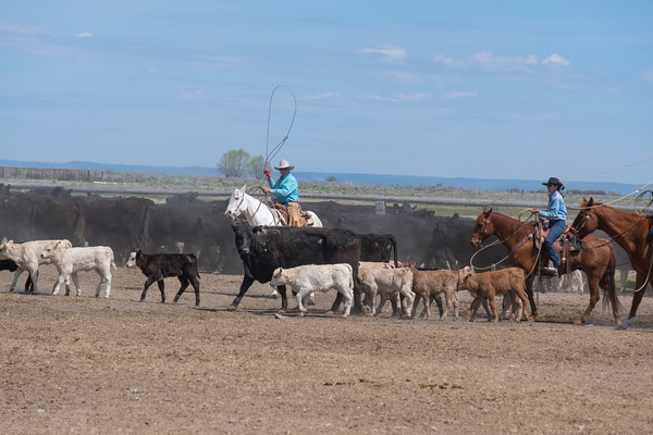 A Cowboy Prepares to Rope a Calf at a Roundup
