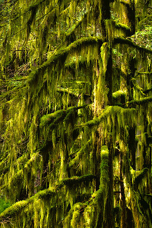 Rainforest, Mt. Rainier National Park