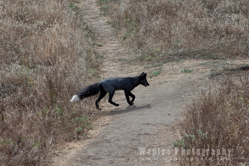 Red Fox! (melanistic version)