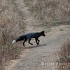 Red Fox! (melanistic version)