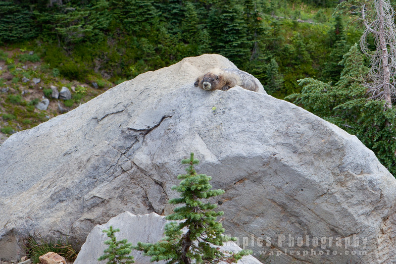 Marmot Chillin'