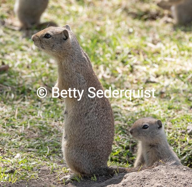Mama Ground Squirrel and Baby, Malheur Wildlife Refuge, Oregon