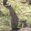 Mama Ground Squirrel and Baby, Malheur Wildlife Refuge, Oregon