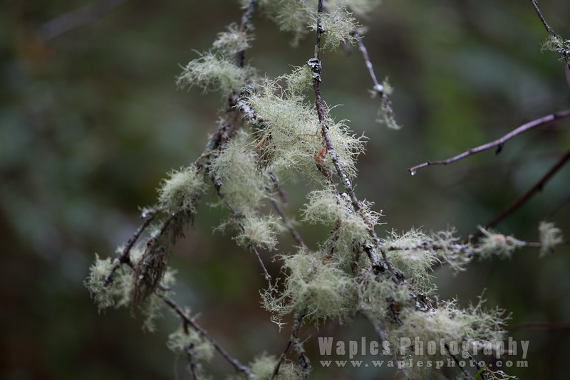 Old man's beard (lichen)