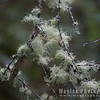 Old man's beard (lichen)
