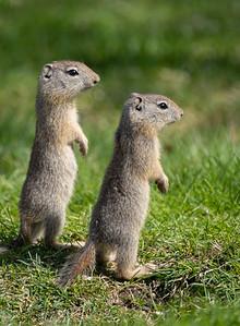 Belding Ground Squirrel Pair, Eastern Oregon