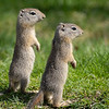 Belding Ground Squirrel Pair, Eastern Oregon