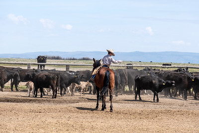 A Young Cowboy Prepares to Rope a Calf
