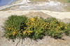 Non-native invasive weed, French Broom on the bluff above Schooner Bay