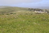 Non-native wild radish has spread in the Pierce Point Ranch in Point Reyes National Seashore