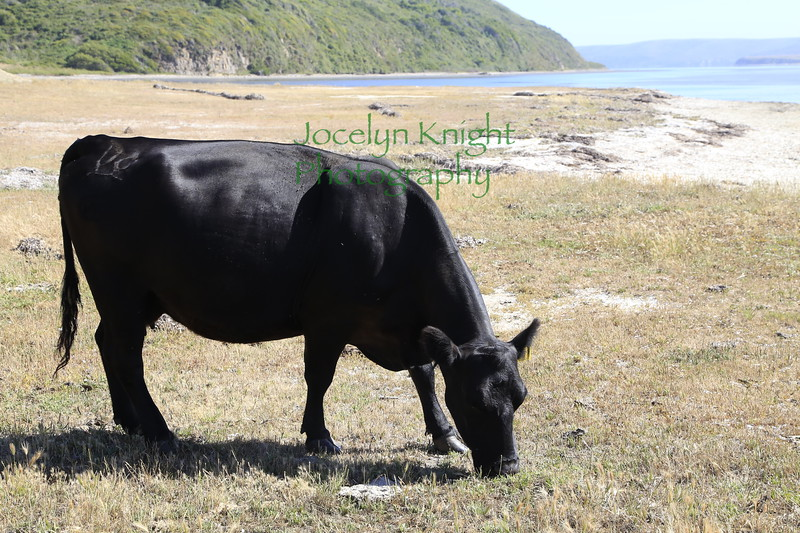 Schooner Bay at the top of Drakes Estero has cattle on the beaches often.