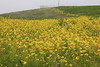 Non-native mustard is grown with other non-native plants in the silage on Kehoe J Ranch in the Pt. Reyes National Seashore on April 17, 2021