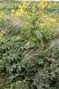 Non-Native weeds, Milk Thistle, Wild Radish and annual grass