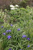 Roadside, Douglas Iris, Wild Cucumber or Manroot, Cow Parsnip, Poison Oak