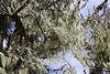 Lace Lichen is an indicator species of clean air, growing on a pine tree in PRNS