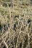 Frost Grass4280