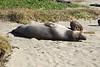 Sea Lion on Drake's Beach