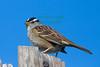 Sparrow6215